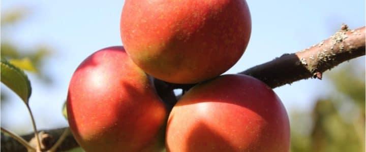 Journée jus de pomme au Verger du Couvent des Cordelières
